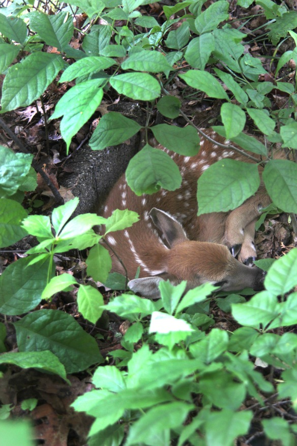 Photo by Chris Bosak A fawn hides in the woods, June 2013.