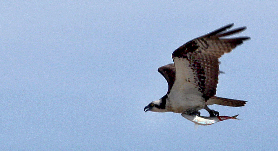 Photo by Chris Bosak An Osprey flies with a fish at Milford Point in Milford, CT, June 2014.
