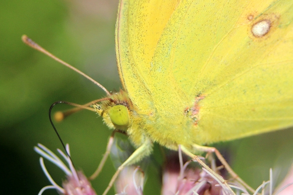 Photo by Chris Bosak A sulphur butterfly sips nectar from a flower in a Darien meadow.