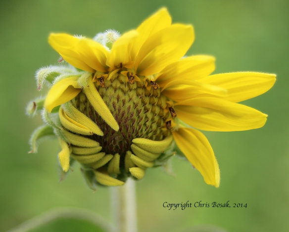 Photo by Chris Bosak A flower ready to go into full bloom at a meadow property of the Darien Land Trust in summer 2013.