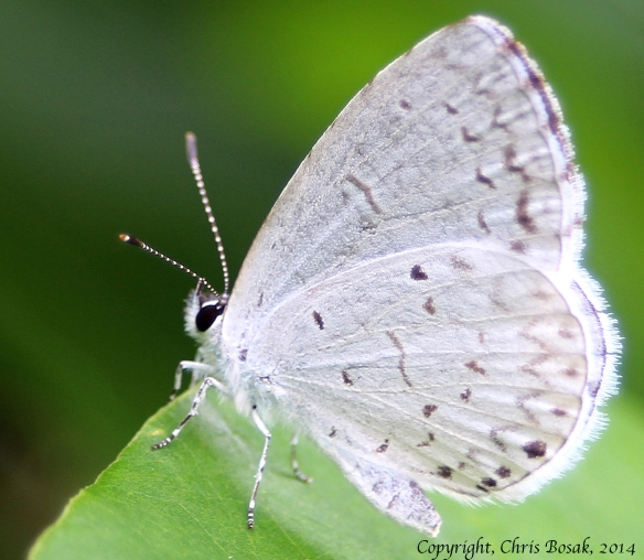 Photo by Chris Bosak Summer Azure butterfly at Darien Land Trust meadow property, summer 2013.