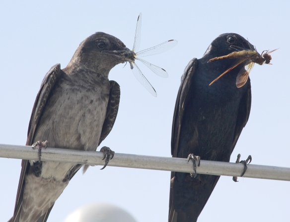 Photo by Chris Bosak Purple Martins (female on left) perch near their gourd colony with dragonflies at Sherwood Island State Park in Westport, Conn., in summer 2014.