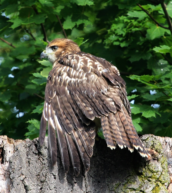 Photo by Chris Bosak A Red-tailed Hawk perches on the top of a tree in Stamford, Conn., July 2014.