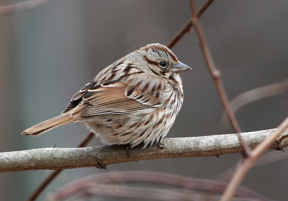 Photo by Chris Bosak A Song Sparrow seen in Selleck's/Dunlap Woods in Darien, Conn., March 2014.