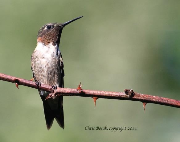 Photo by Chris Bosak A female Ruby-throated Hummingbird perches on a thorny branch in Norwalk, Conn., summer 2014.