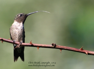 hummingbird4 c