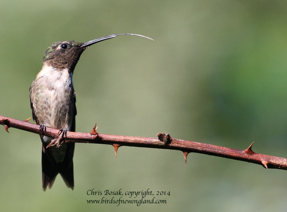 Photo by Chris Bosak A male Ruby-throated Hummingbird sticks out it tongue while perched on a thorny branch in Norwalk, Conn., summer 2014.