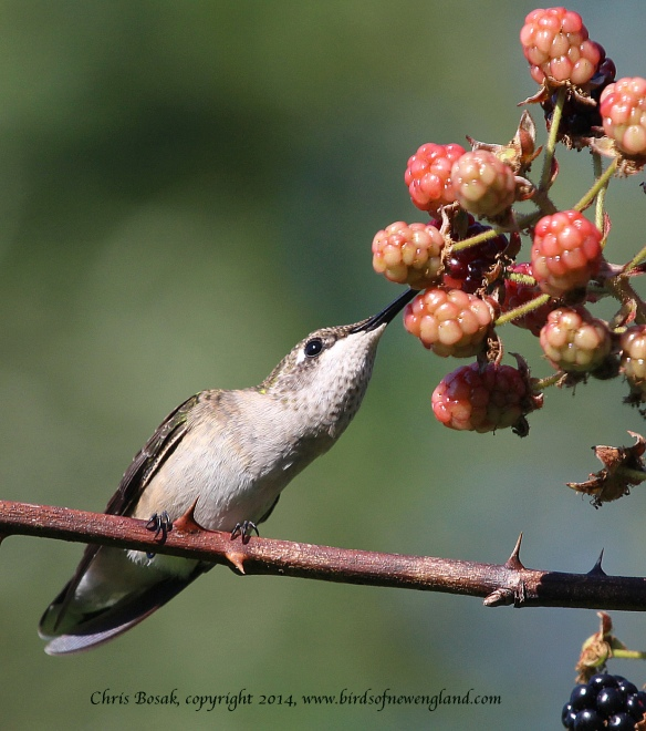 Photo by Chris Bosak A female Ruby-throated Hummingbird sips juice from a berry in Norwalk, Conn., summer 2014.