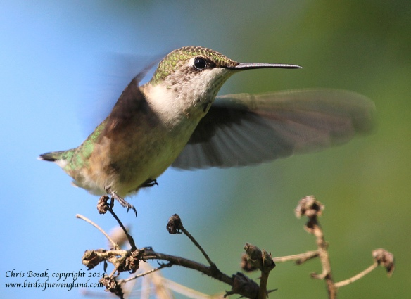 Photo by Chris Bosak A female Ruby-throated Hummingbird takes off from a perch in Norwalk, Conn., summer 2014.