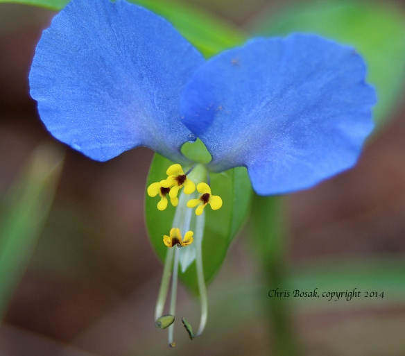 Photo by Chris Bosak Dayflower in bloom at meadow property of Darien Land Trust.