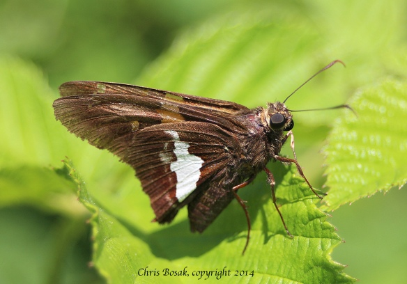 Photo by Chris Bosak A silver-spotted skipper at a meadow property of the Darien Land Trust, summer 2013.