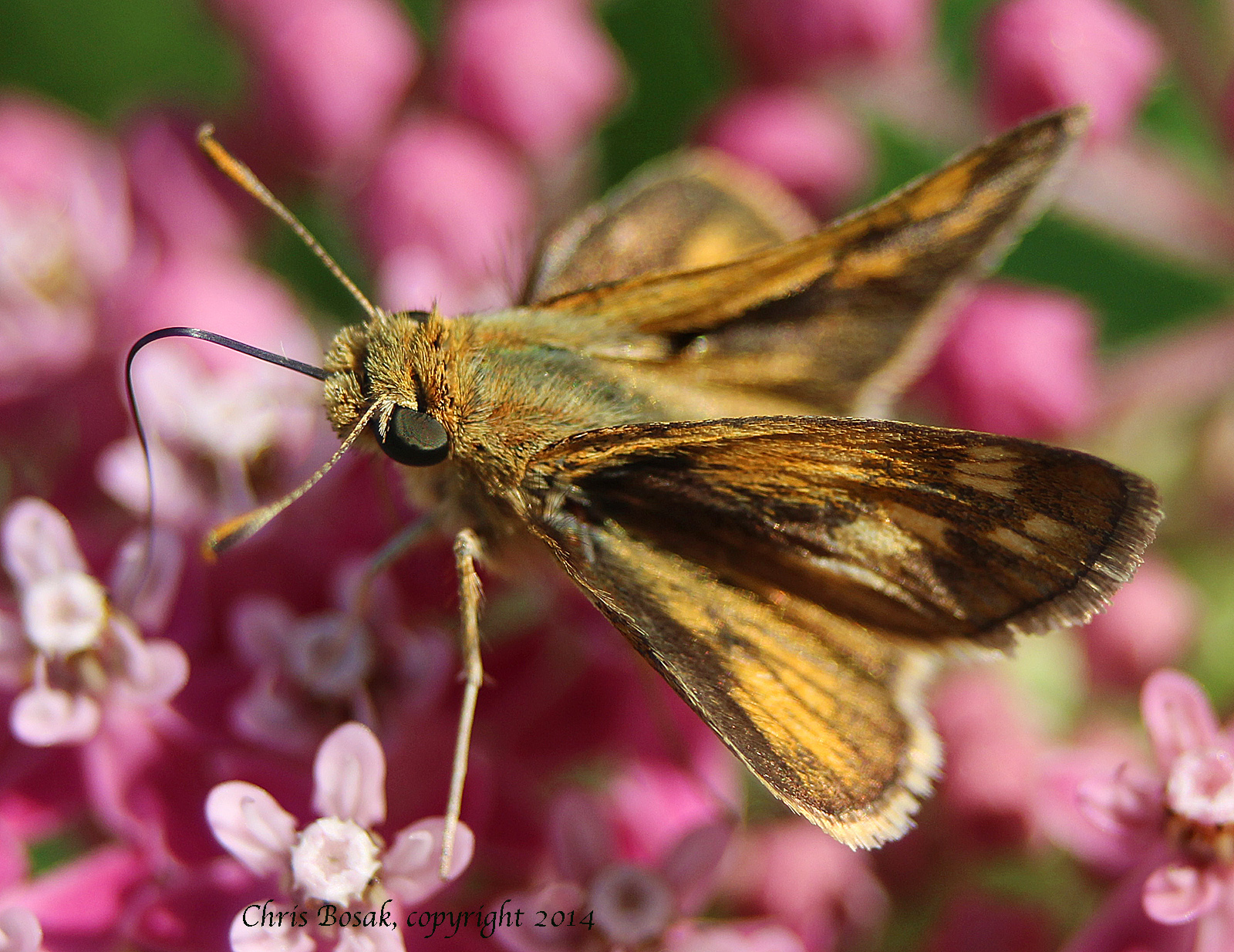 Photo by Chris Bosak Skipper butterfly at meadow property of Darien Land Trust, summer 2013.