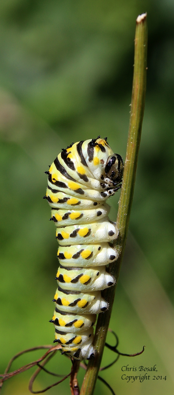 Photo by Chris Bosak A Monarch caterpillar climbs on a stalk in a meadow property of the Darien Land Trust in the summer of 2013.