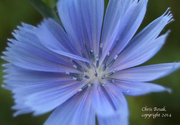 Photo by Chris Bosak Considered a weed by most, chicory has a hidden beauty when looked at close up.