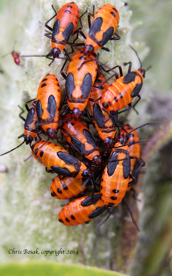meadow12 milkweed bugs c