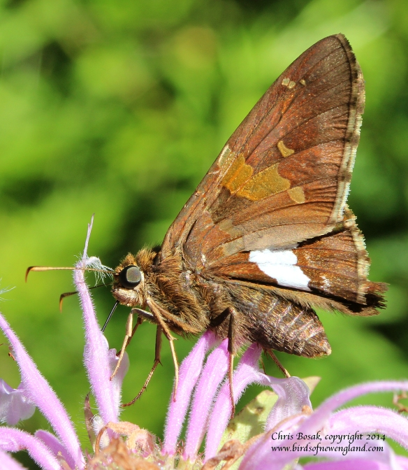 Photo by Chris Bosak A silver spotted skipper drinks nectar from bee balm at a meadow property of the Darien Land Trust, summer 2013.