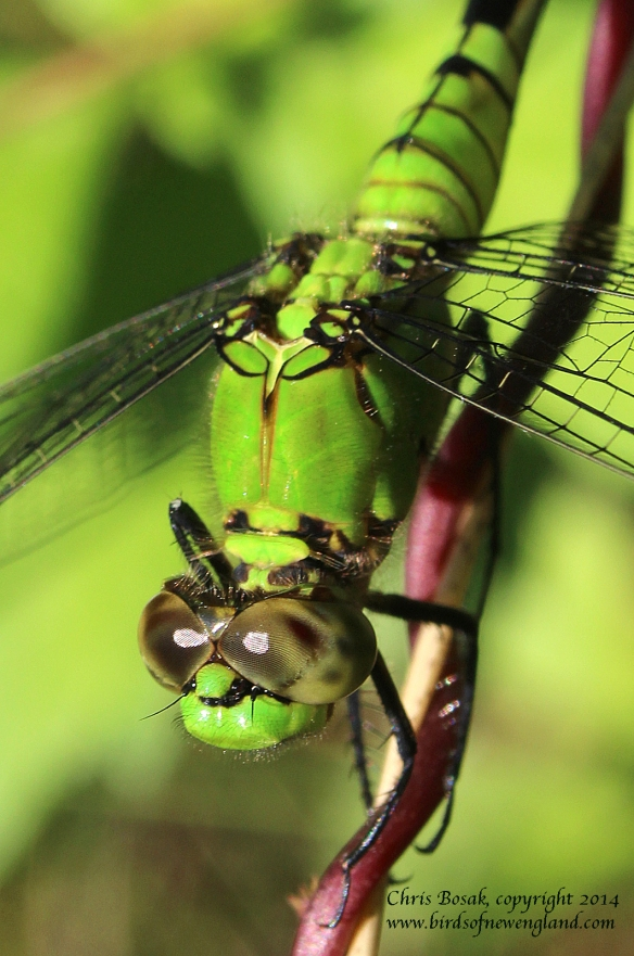 Photo by Chris Bosak A green Eastern Pondhawk dragonfly clings on to a vine wrapped around a stalk on a meadow property of the Darien Land Trust, summer 2013.