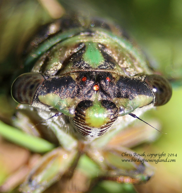 Photo by Chris Bosak A cicada climbs a blade of grass in a meadow property of the Darien Land Trust, summer 2013.