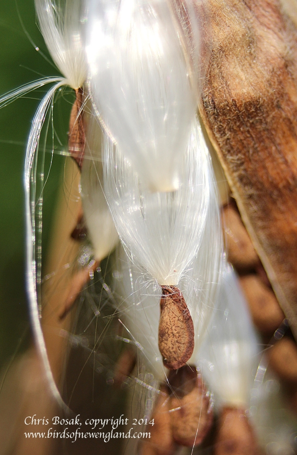 Photo by Chris Bosak A milkweed pod opens at a meadow property of the Darien Land Trust, summer 2013.