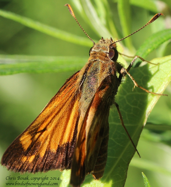 Photo by Chris Bosak A skipper butterfly rests on a leaf at a meadow property of the Darien Land Trust, summer 2013.