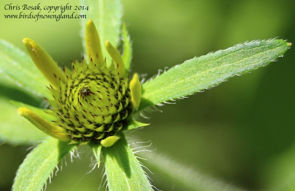 Photo by Chris Bosak A yellow flower is about to bloom in a meadow property of the Darien Land Trust, summer 2013.