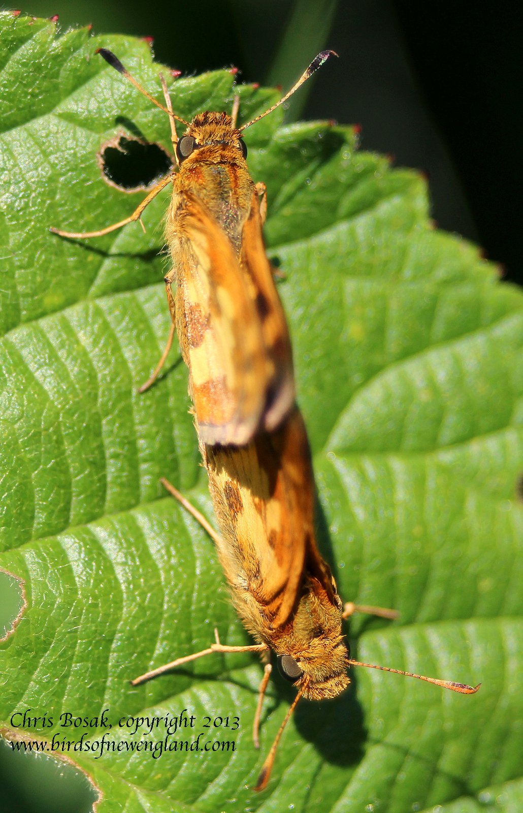 Photo by Chris Bosak Skippers attached to each other at a meadow property of the Darien Land Trust, summer 2013.