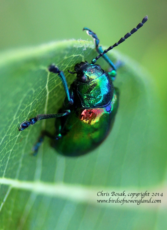 Photo by Chris Bosak A dogbane beetle sits on a leaf in a meadow property of the Darien Land Trust, summer 2013.