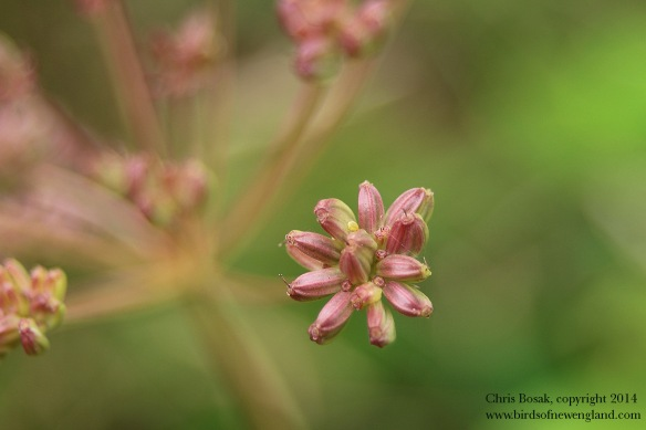 Photo by Chris Bosak A flower ready to bloom in a meadow property of the Darien Land Trust, summer 2013.