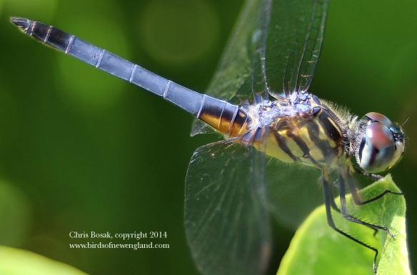 Photo by Chris Bosak Blue Dasher dragonfly at a meadow property of the Darien Land Trust, summer 2013.