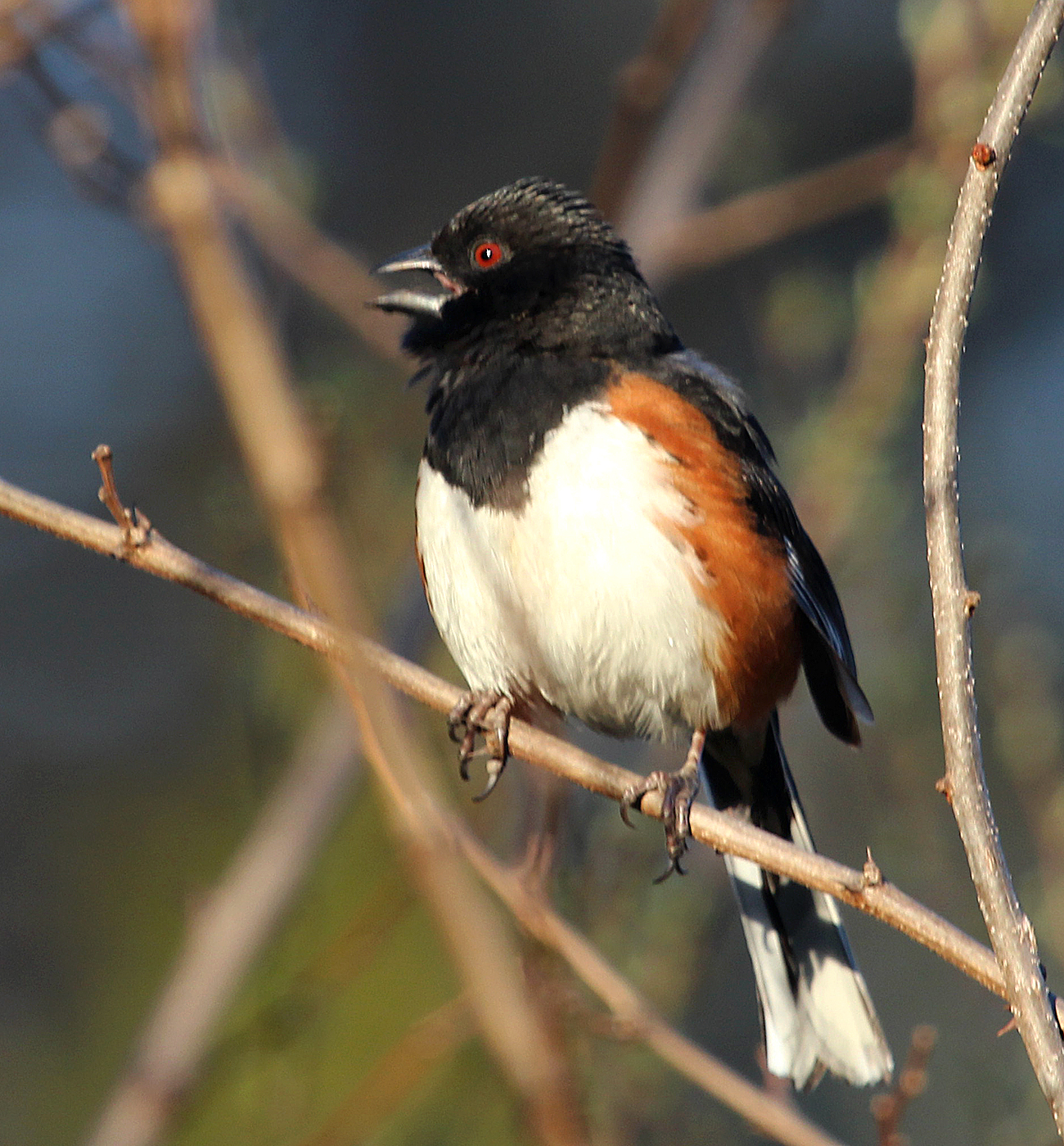 Photo by Chris Bosak An Eastern Towhee calls from his perch at Selleck's Woods in Darien, Conn., April 2014.