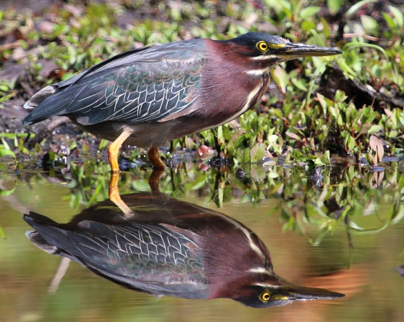 Photo by Chris Bosak A Green Heron stalks a pond in Darien in this fall, 2014 photo.