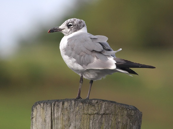 Photo by Chris Bosak A Laughing Gull stands on a piling at a boat dock along the Norwalk River, Sept. 2014.