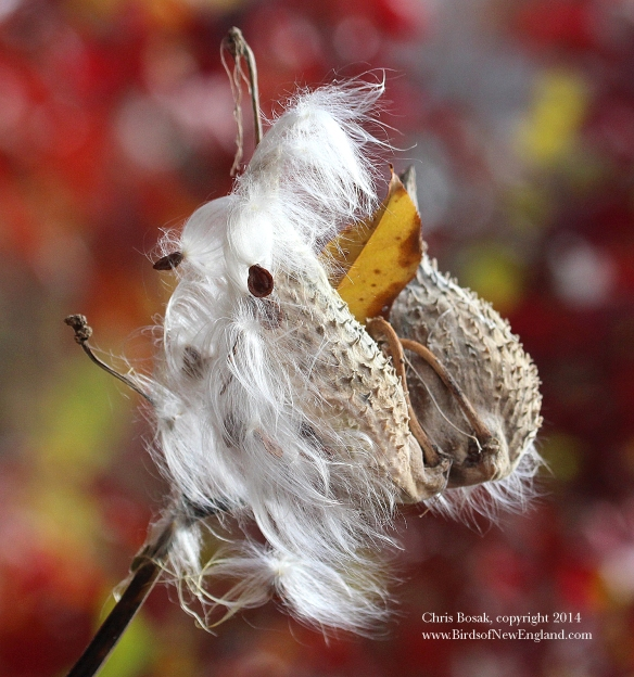 Photo by Chris Bosak A dried up milkweed pod at a meadow property of the Darien Land Trust, summer 2013.