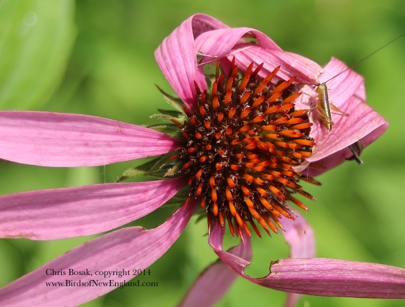 Photo by Chris Bosak A tiny grasshopper on a flower in a meadow property of the Darien Land Trust, summer 2014.