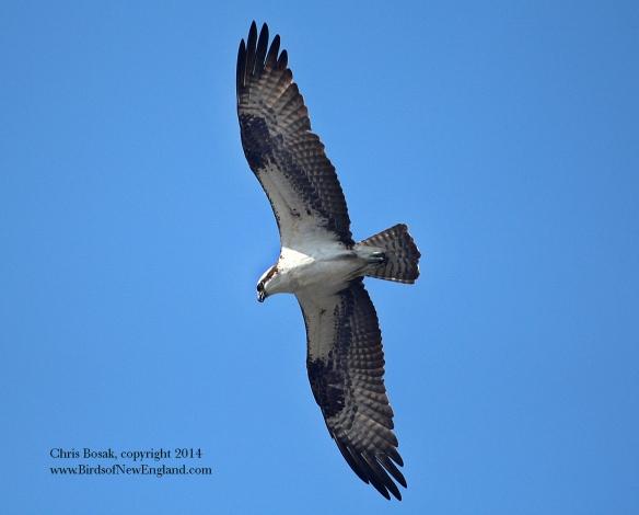 Photo by Chris Bosak An Osprey soars over the Norwalk River on Monday, Sept. 1, 2014.