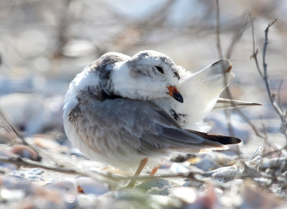 Photo by Chris Bosak A Piping Plover preens at Milford Point in spring of 2014.