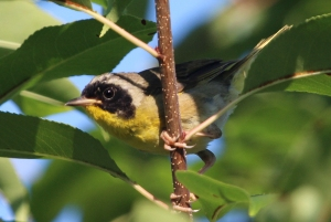 Photo by Chris Bosak A male Common Yellowthroat lurks in the branches in West Norwalk late this summer.