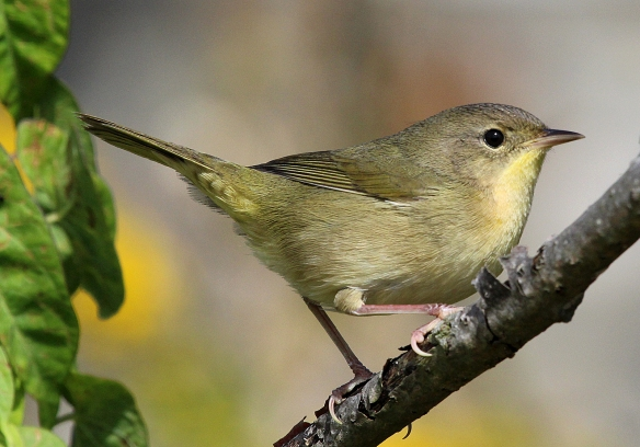 Photo by Chris Bosak Common Yellowthroat, first year, southern New England, Sept. 2013