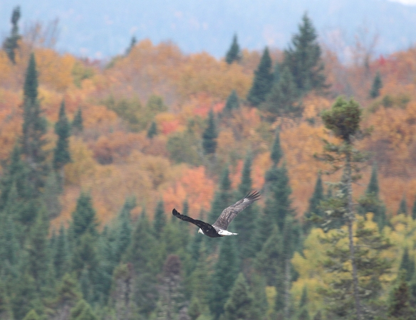 Photo by Chris Bosak A Bald Eagle flies across the autumn scene in northern New Hampshire, Oct. 2014.