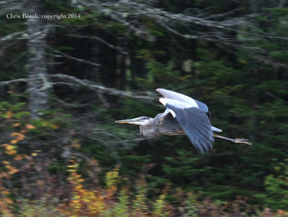 Photo by Chris Bosak A Great Blue Heron flies across the scene at a pond in northern New Hampshire, Oct. 2014.