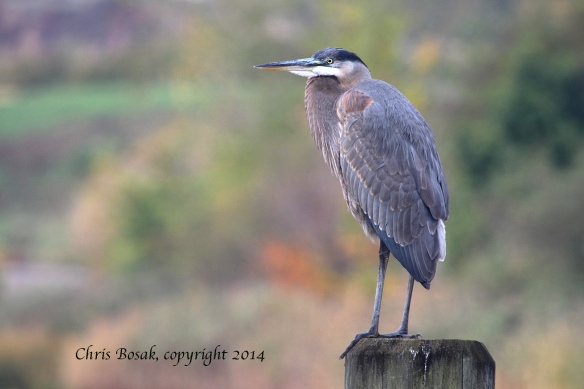 Photo by Chris Bosak A Great Blue Heron stands on a piling along the Norwalk River on Tuesday, Oct. 14, 2014.