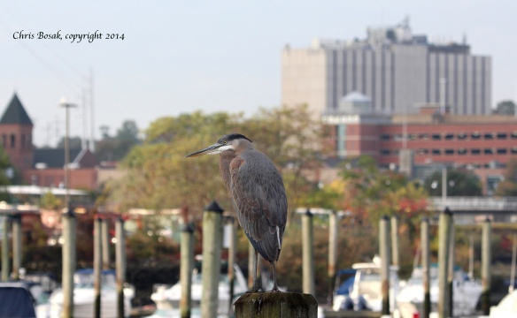 https://birdsofnewengland.files.wordpress.com/2014/10/gb-heron2-c1.jpg?w=584&h=361