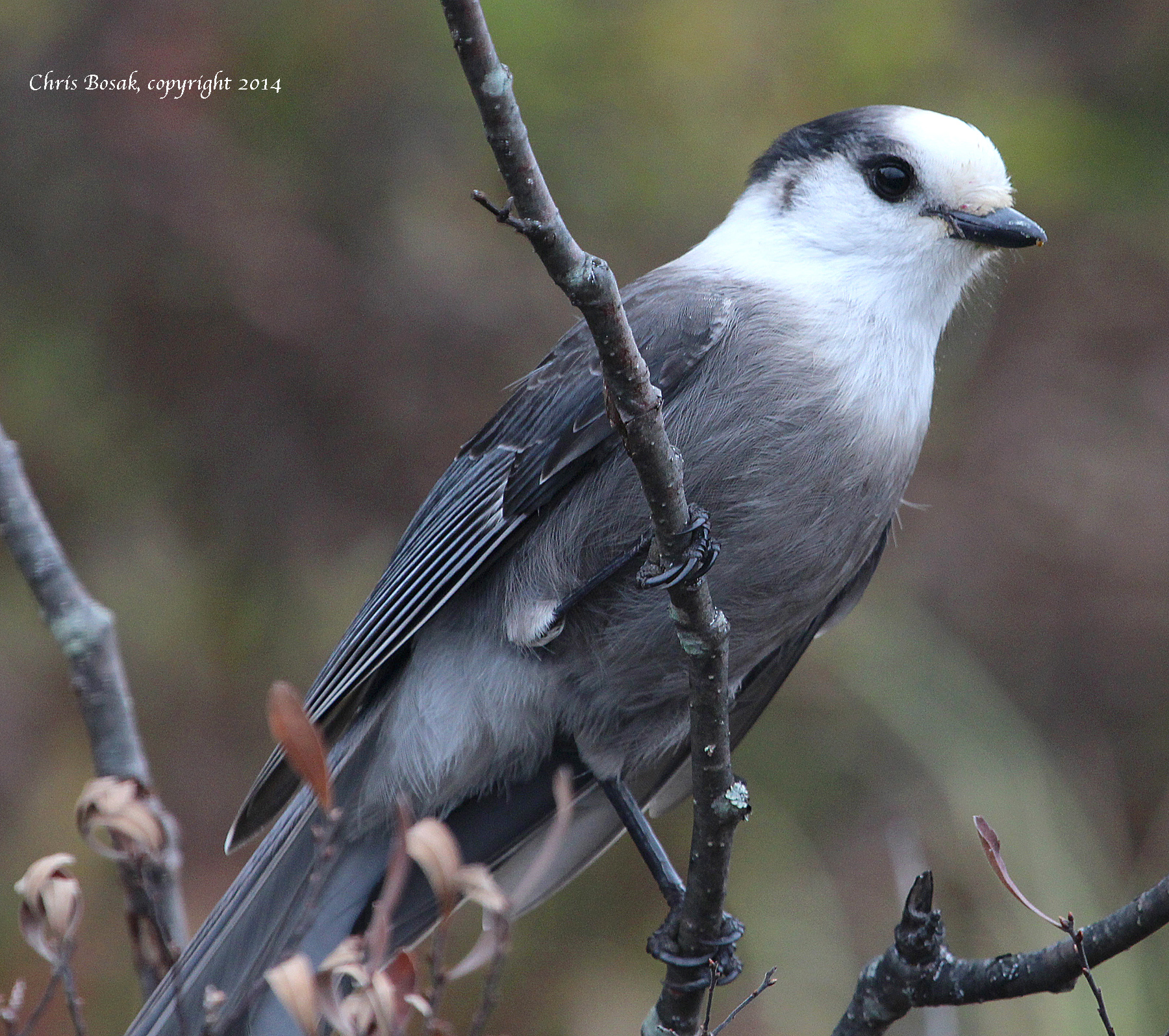 Photo by Chris Bosak A Gray Jay perches on a branch near a pond in northern New Hampshire, Oct. 2014.