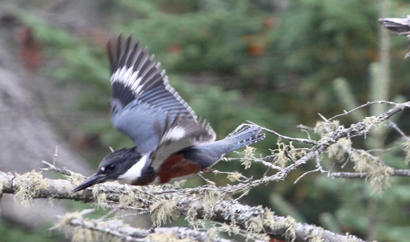 Photo by Chris Bosak A female Belted Kingfisher leaves its perch near a small pond along the Golden Road in Maine.
