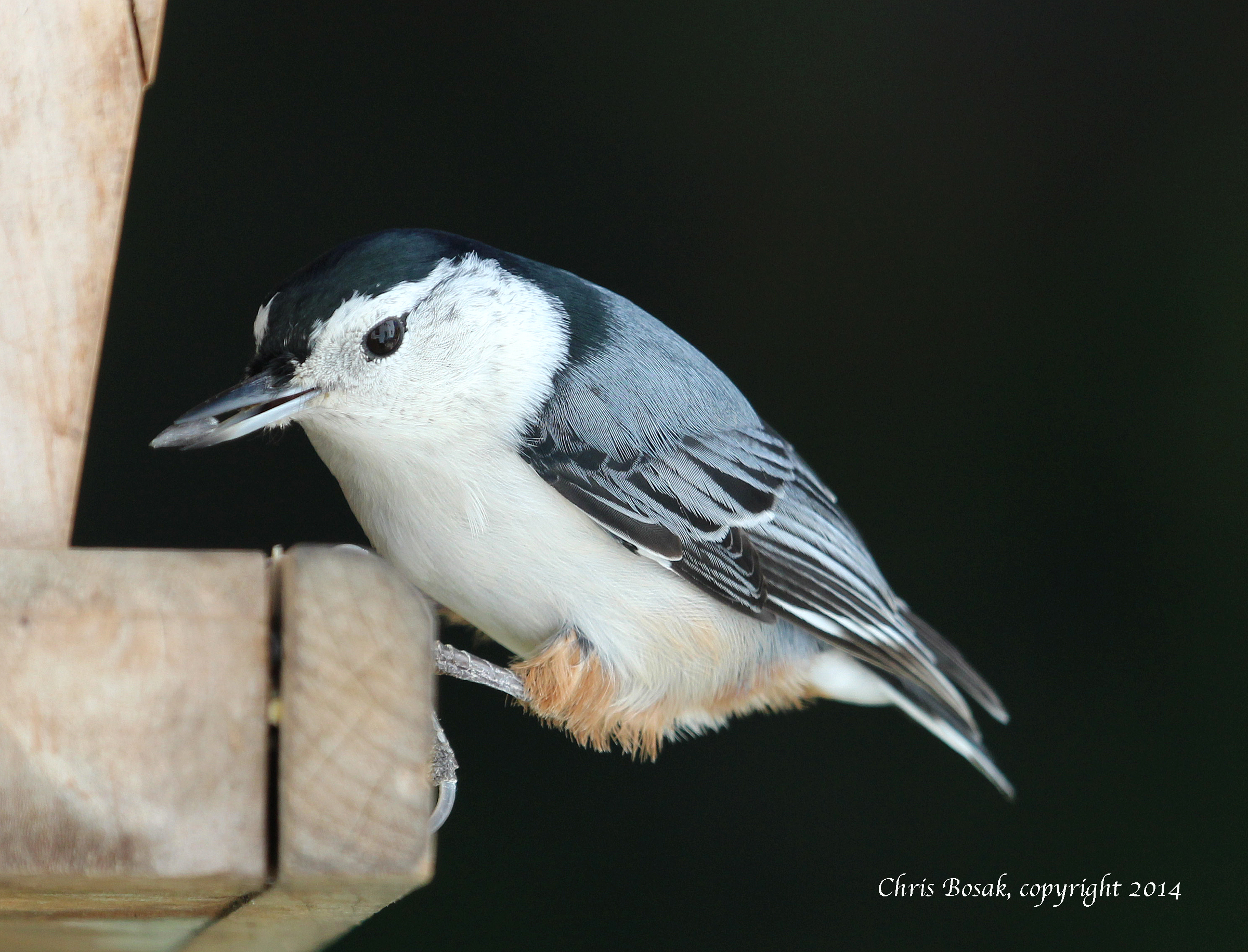 Photo by Chris Bosak White-breasted Nuthatch at backyard feeder, Oct. 2014.