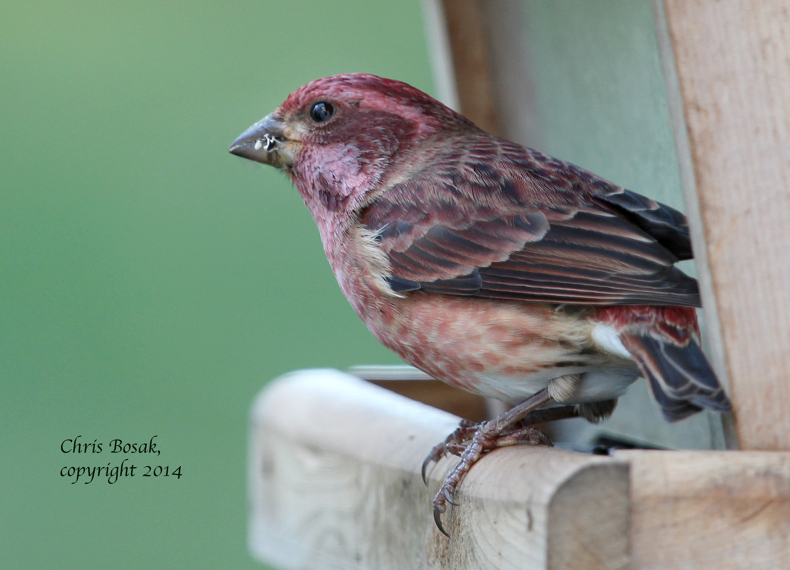 Photo by Chris Bosak A male Purple Finch eats sunflower seeds from a feeder in New England, Oct. 2014.