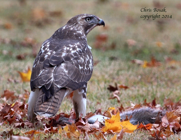 Photo by Chris Bosak A Red-tailed Hawk eats a Gray Squirrel in a cemetery in Darien, Oct. 2014.