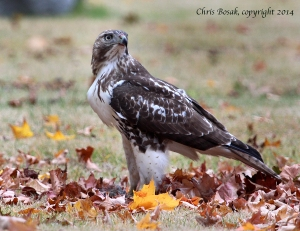 Photo by Chris Bosak A Red-tailed Hawk eats a Gray Squirrel in a cemetery in Darien, Conn., Oct. 2014.