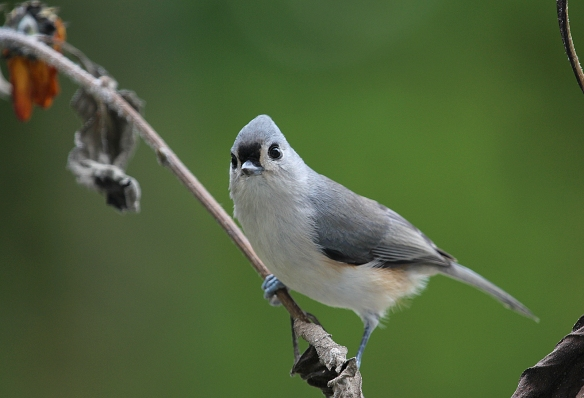 Photo by Chris Bosak A Tufted Titmouse perches on a branch of a fading sunflower before heading to a nearby birdfeeder.