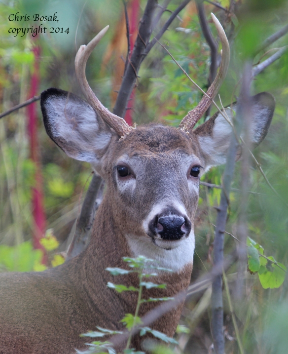 Photo by Chris Bosak A young White-tailed Deer in Stamford, Oct. 2014.